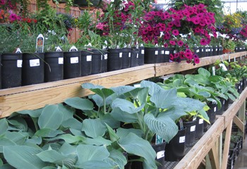 Hostas and Hanging Baskets