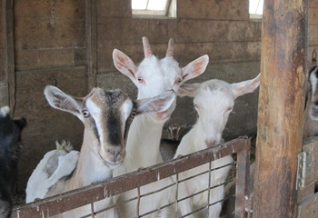 Strawberry Hill Dairy Goats